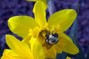 2019-04-06 Daffodil and Bumble Bee(2)